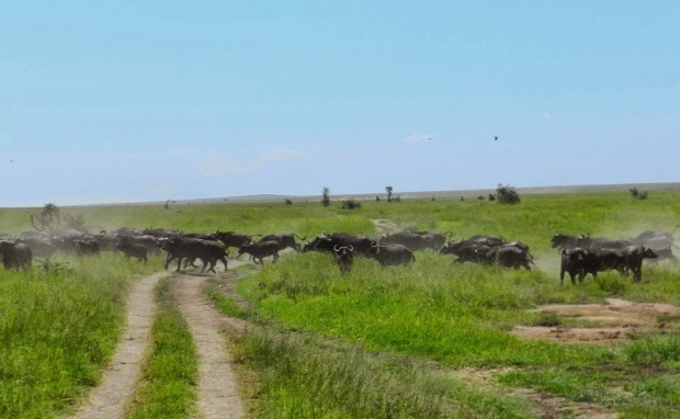 Buffalos crossing the road