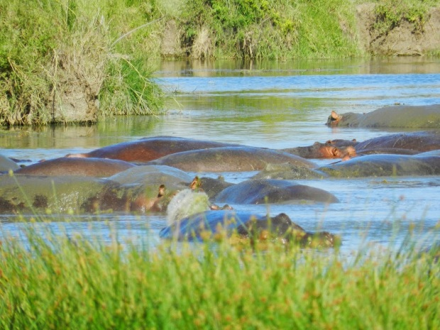 Hippos lazying in the water