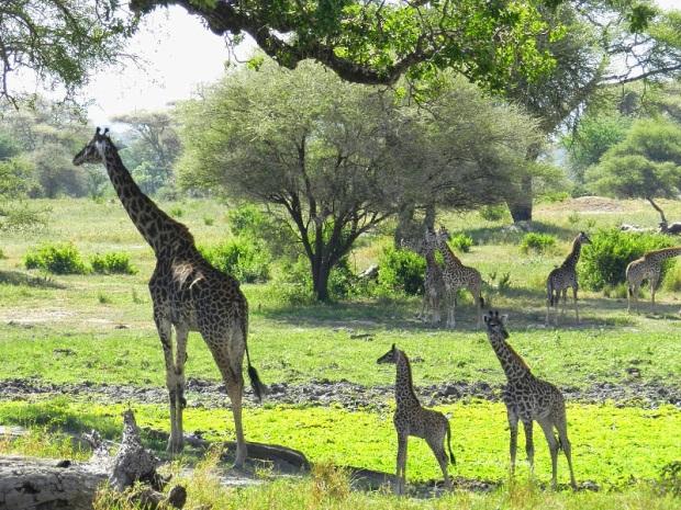 Moma & baby giraffes